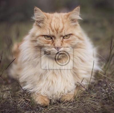 Zły Kot Ruda Syberyjski Perski Myloviewpl